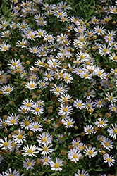 Blue Star Japanese Aster (Kalimeris incisa 'Blue Star') at Ashcombe Farm & Greenhouses