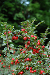 Cranberry Cotoneaster (Cotoneaster apiculatus) at Ashcombe Farm & Greenhouses