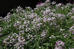 Lavender Stream Sweet Alyssum (Lobularia maritima 'Lavender Stream') at Ashcombe Farm & Greenhouses